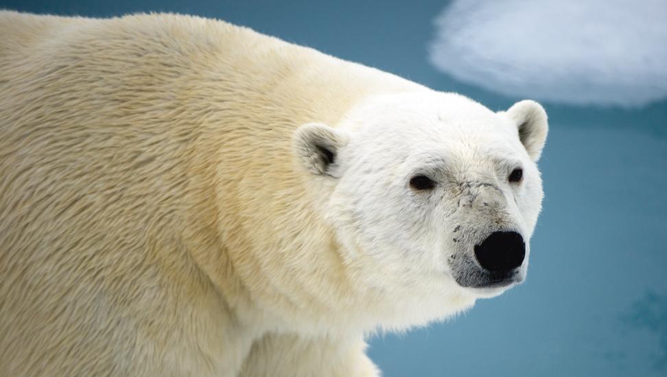 Eisbären vor dem Eisbrecher